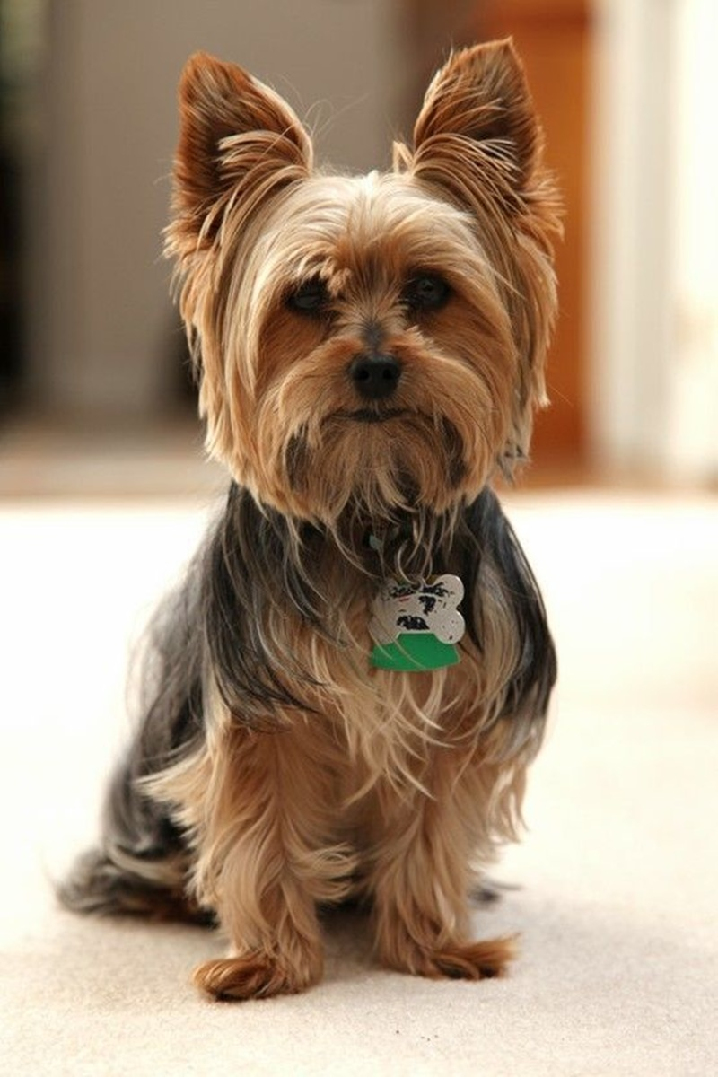 11 Captivating Haircuts for Your Yorkie!