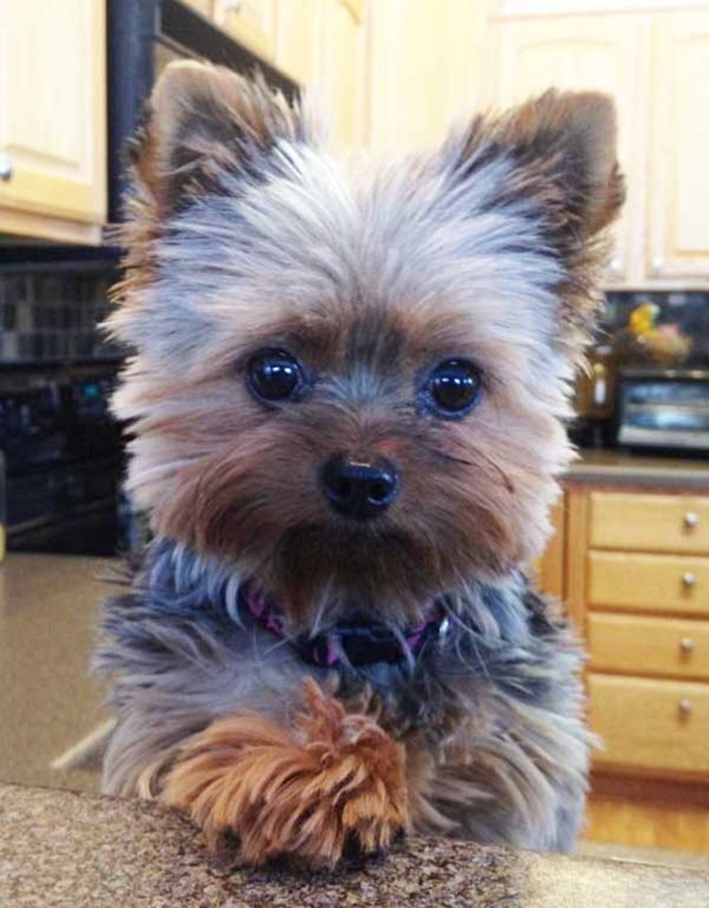 12 Captivating Haircuts for Your Yorkie!